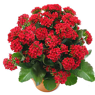 Mountain States Plants - Plant Care - Kalanchoe on flapjack succulent kalanchoe plant care, pink flowers with succulent plants, pink flower with green leaves plant, kalanchoe daigremontiana plant care, pink succulent cuttings, common kalanchoe plant care, kalanchoe tomentosa panda plant care, pink magnolia tree with flowers, pink mother of thousands, kalanchoe blossfeldiana plant care, kalanchoe thyrsiflora care, pink variegated kalanchoe flower,